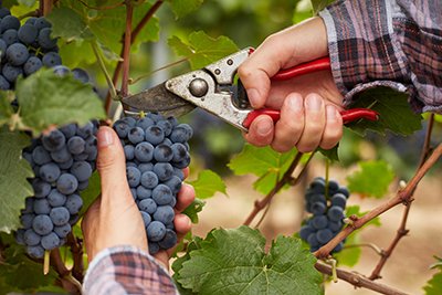 photo of farmer harvesting grapes